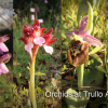 Orchids and other wild flowers at Trullo Adagio