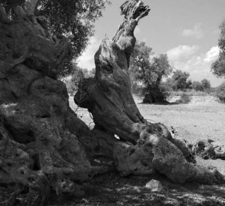 Olive tree near Ostuni, Puglia