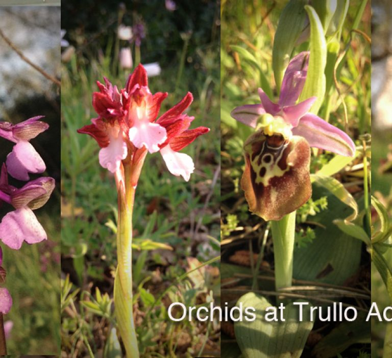 A range of wild Orchids at Trullo Adagio