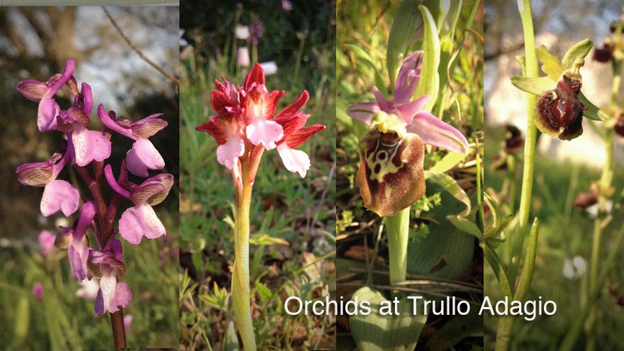 A range of wild Orchids at Trullo Adagio